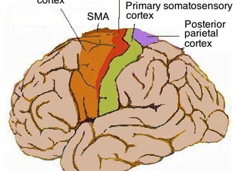 Human motor cortex in the brain.