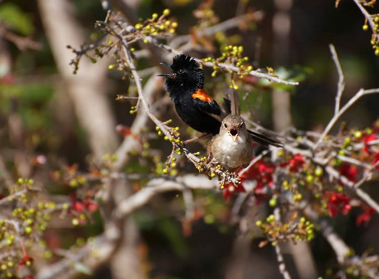 Image shows a red backed fairy wren.