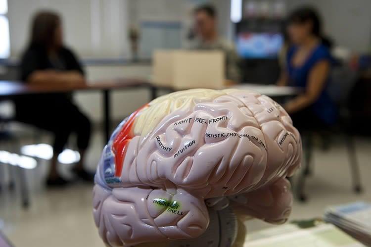 Image shows a brain model.