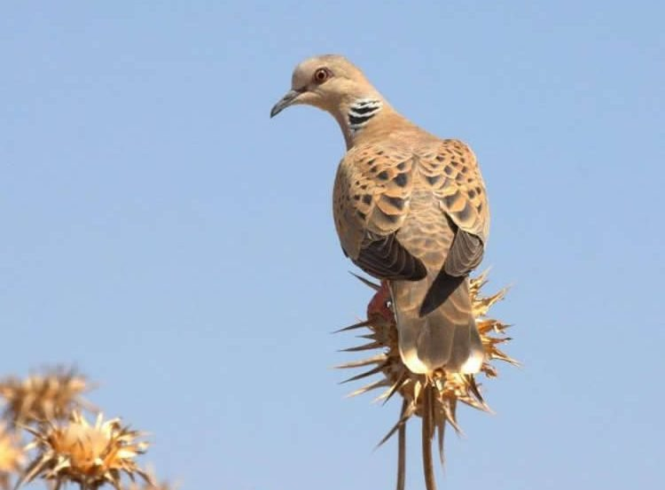 Image shows a Turtle dove.