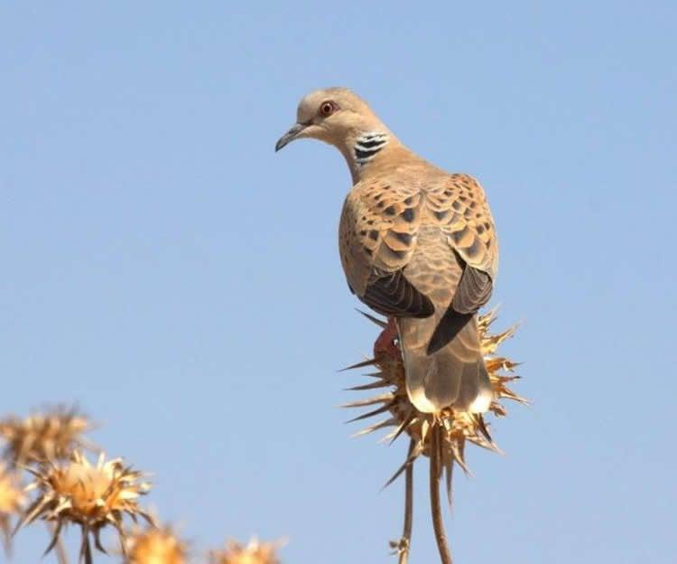 Image shows a Turtle dove.