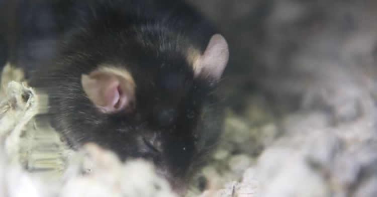 Image shows a sleepy mouse.