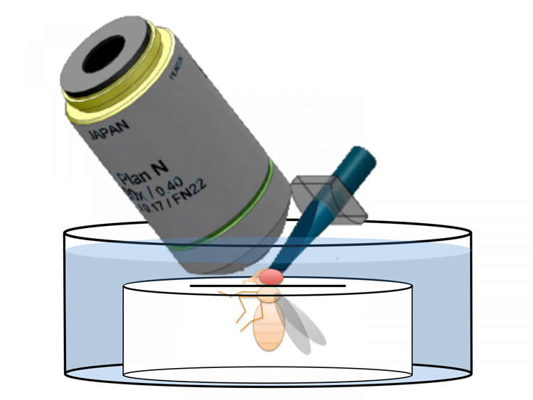 Drawing of a fly and microscope.