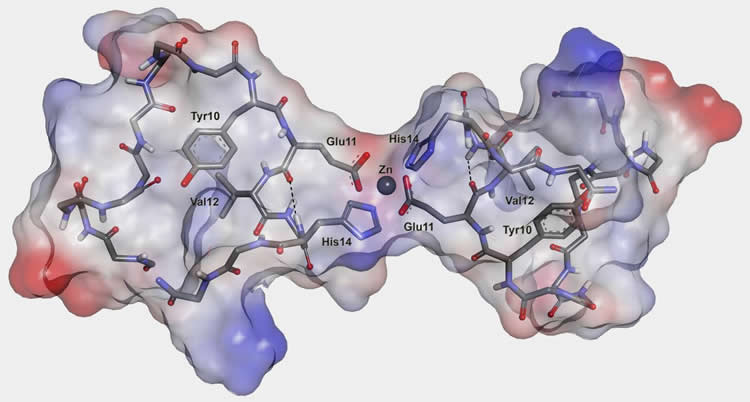 Image shows the three-dimensional structure of the dimer of the metal-binding domain of beta-amyloid peptide.