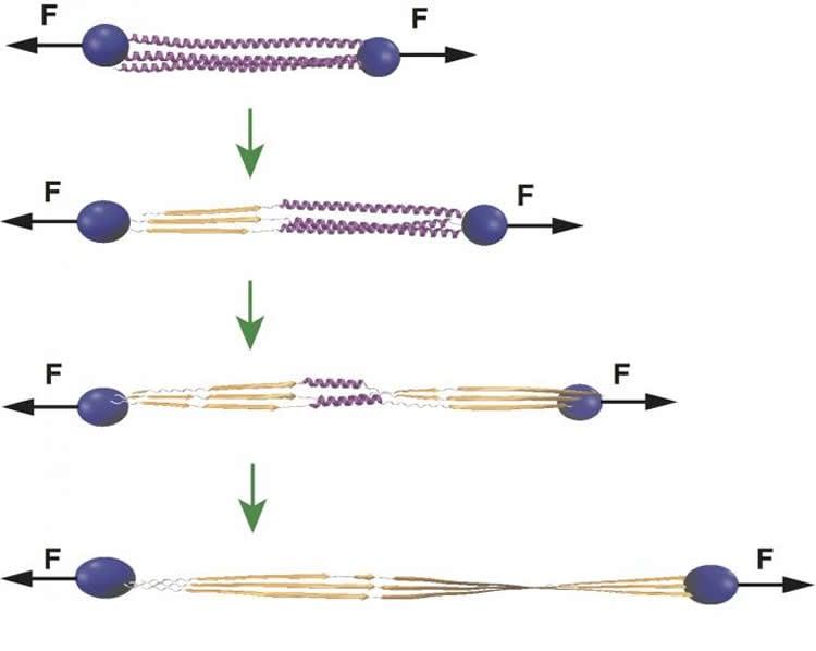 Diagram of how actin stabilizes cp.