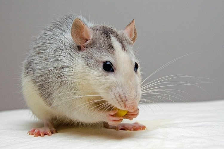 Image shows a rat eating a cracker.