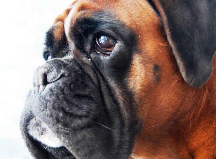 Image shows a boxer dog.