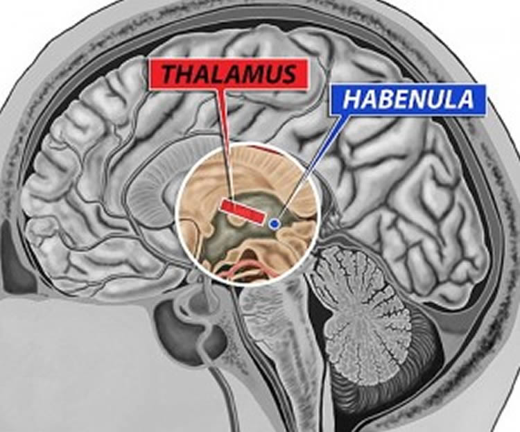 Image shows the location of the habenula in the brain.
