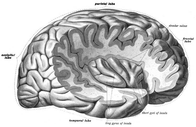 Image shows the insula.