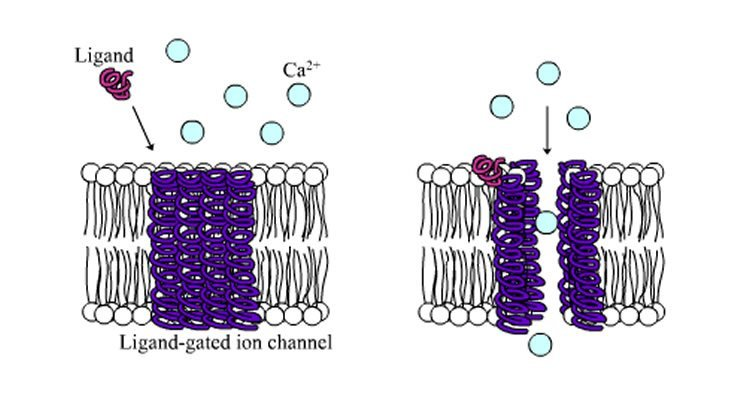 Diagram shows a ligand-gated ion channel.