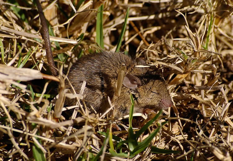 Image shows a sleeping mouse.