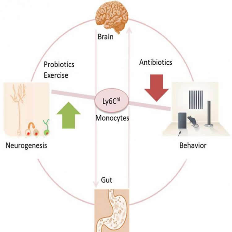Image show the impact of prolonged antibiotic treatment on brain cell plasticity and cognitive function.