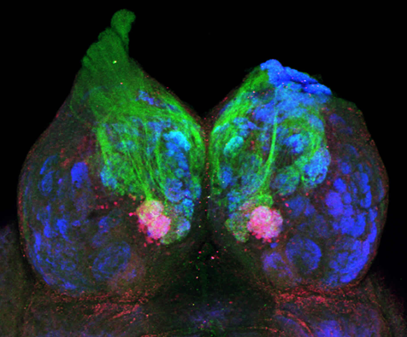Image shows a zebrafish olfactory bulb.