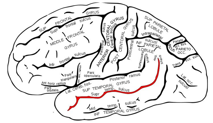 Image shows the superior temporal sulcus highlighted in red.
