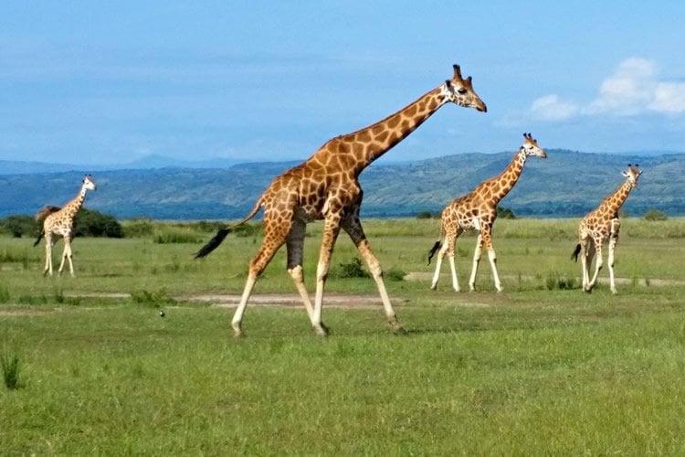 Image shows giraffes.