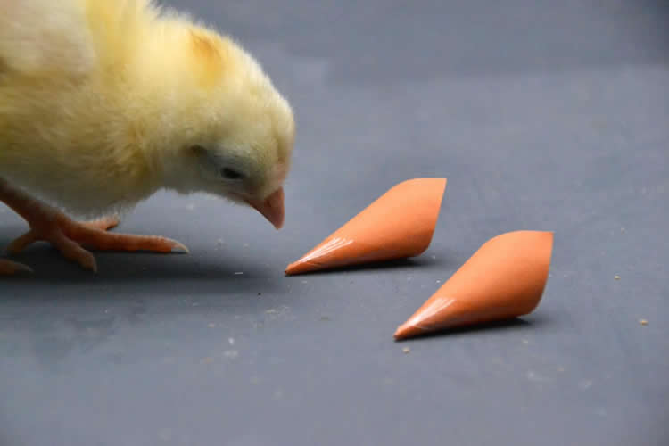 Image shows a chicken pecking at two orange cones.
