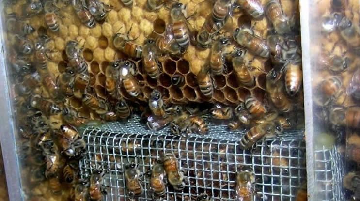 Image shows nurse honey bees.