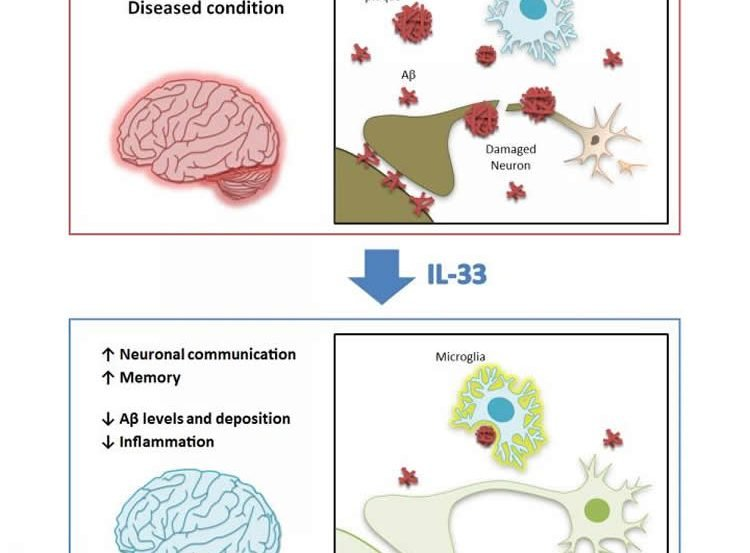 Image shows how il33 affects the brain.