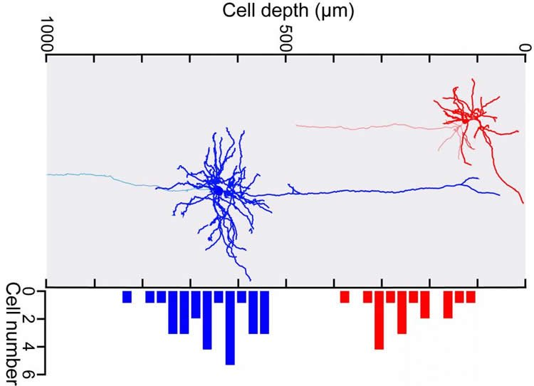 Image shows reconstructed neurons.