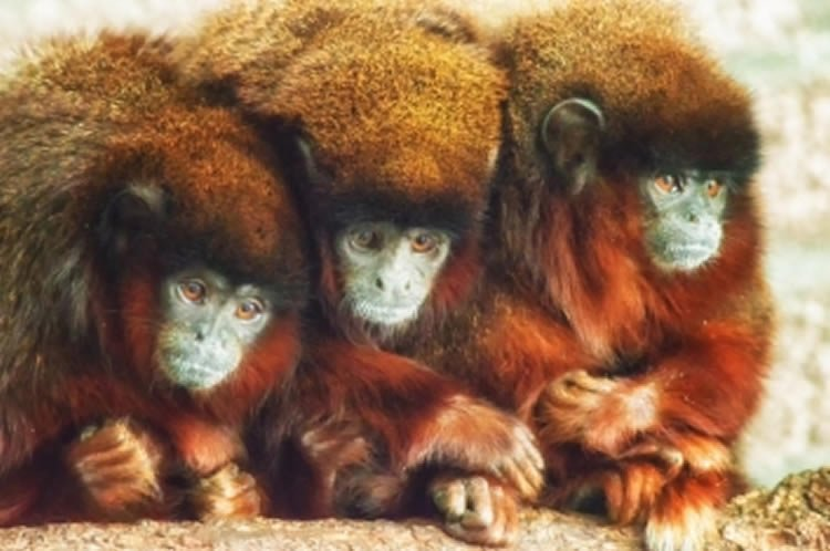 Image shows 3 Titi monkeys.