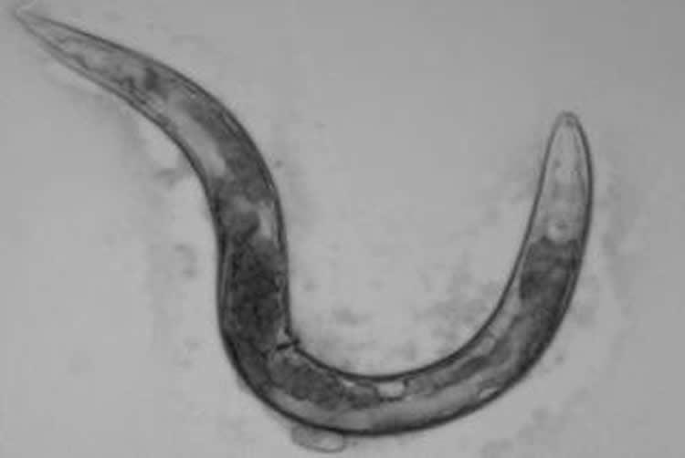 Image shows C. elegans.