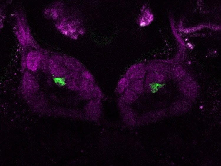 Image shows antennal lobe in the olfactory center of a fly.