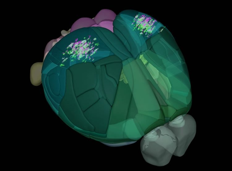 Image shows a 3d map of a mouse brain.