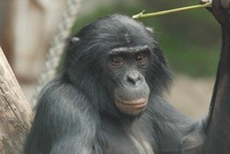 Image shows a bonobo chimp.
