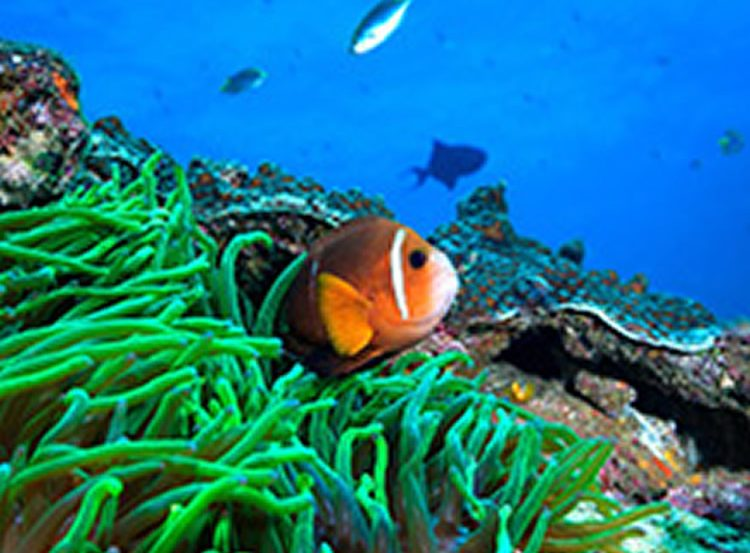Image shows a clown fish.