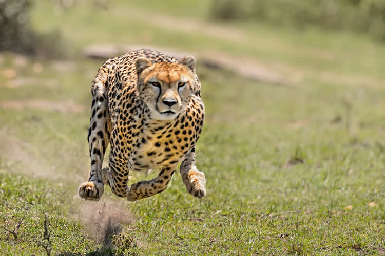 Image shows a cheetah running.
