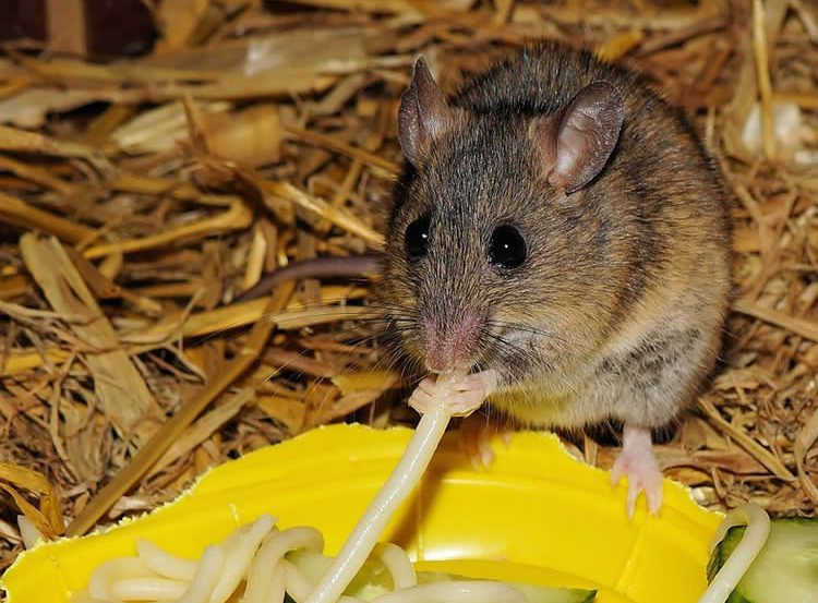 Image shows a mouse eating spaghetti.