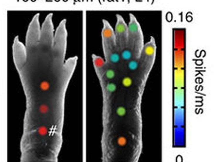 Image shows a diagram a rat paw.