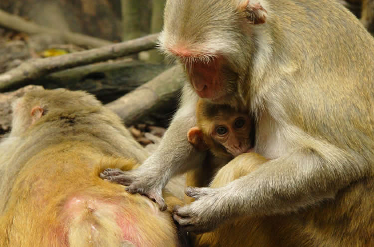Image shows rhesus monkeys grooming one another.