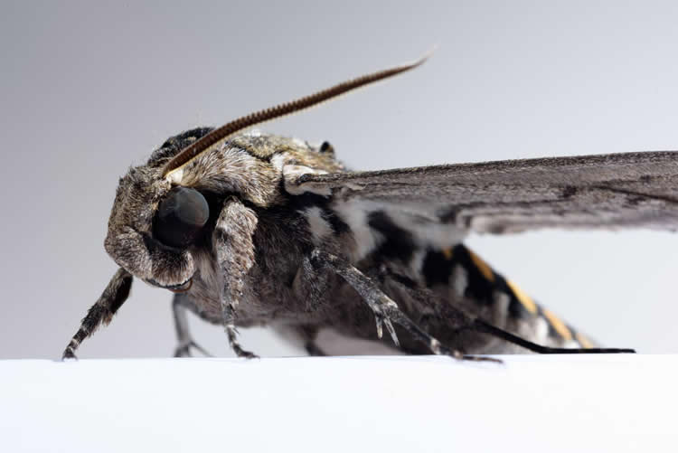 Image shows a hawkmoth.