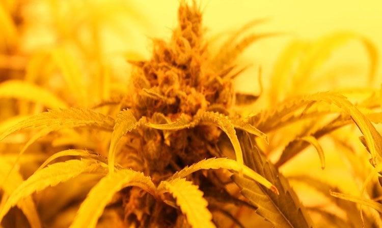 Image shows a marijuana plant.