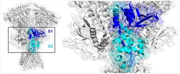 Image shows an agonist binding domain of NMDA receptors.