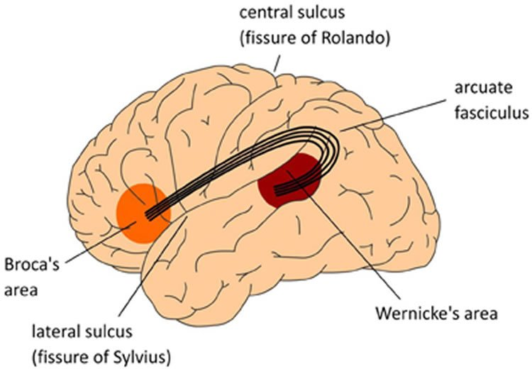 the brain and brocas area psychology essay What is brain plasticity  the brain's ability to move functions from a damaged area of the brain to other  basics of biological psychology - the brain and.