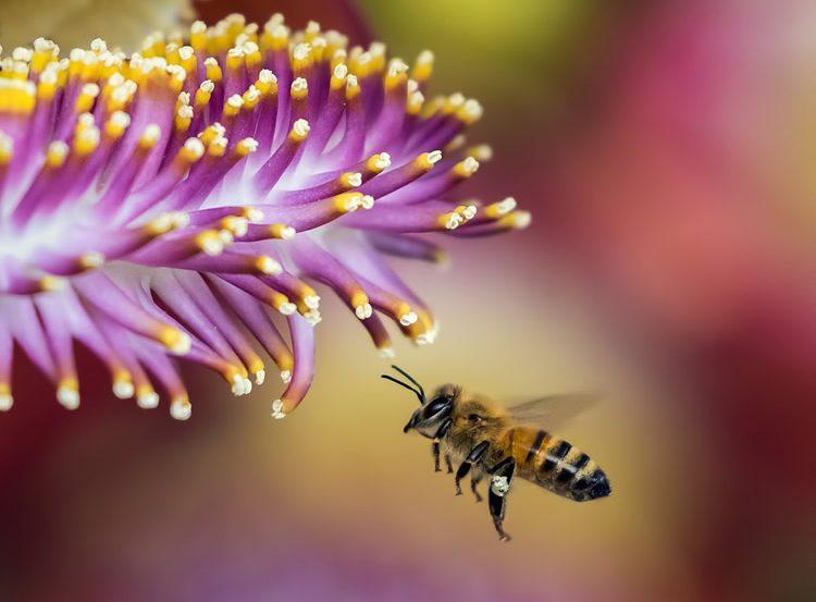 A honeybee on a purple flower.