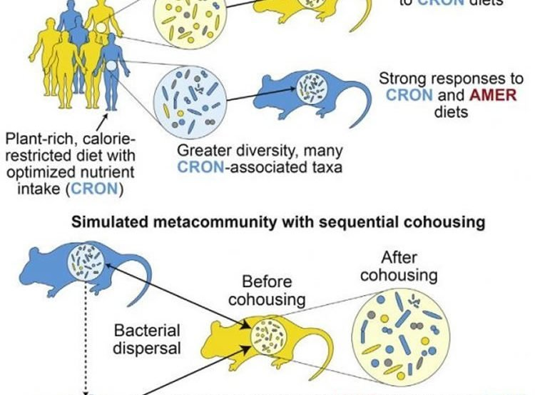 Image shows a diagram of the mice and microbes.