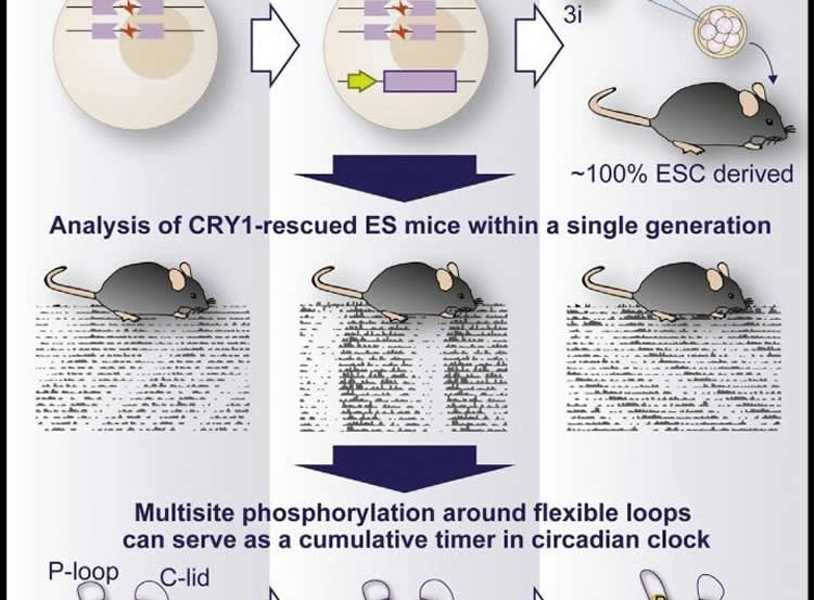 Image shows how CRY1 affects the circadian clock.