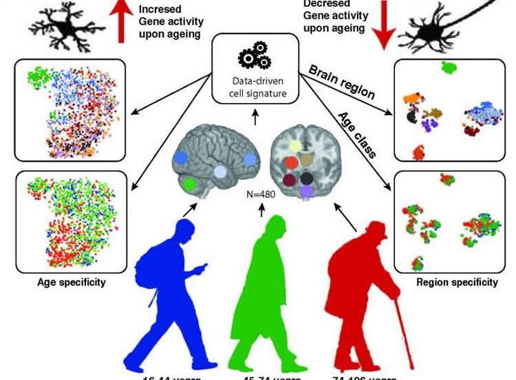 This graphic depicts the numbers and function of glia and neurons in the aging human brain.