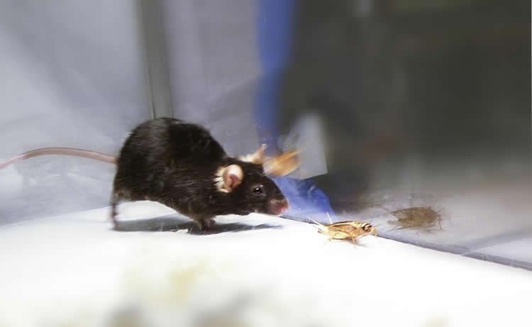 Image shows a mouse chasing a cricket.