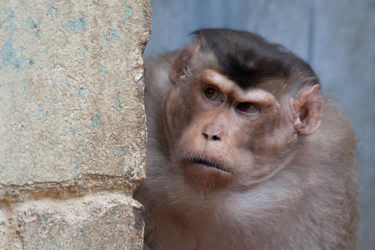 Image shows a pigtail macaque.