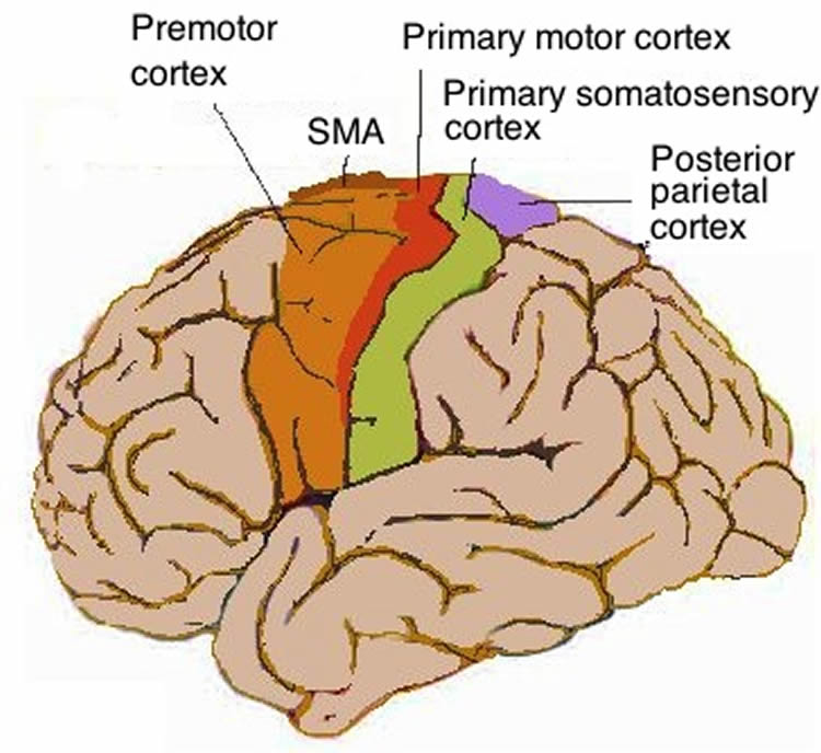 Image shows the location of the motor cortex in the human brain.