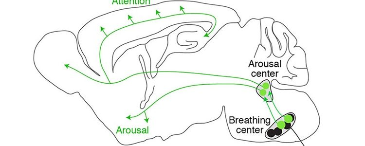 Image shows a diagram of the pathway that connects the brain's breathing and arousal centers.