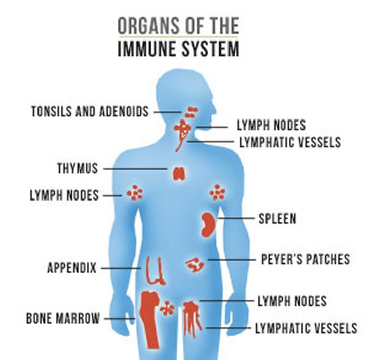Image shows a diagram of organs of the immune system.