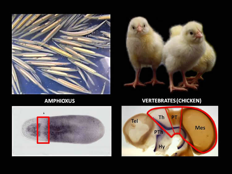 Image shows a chicken and a brain.