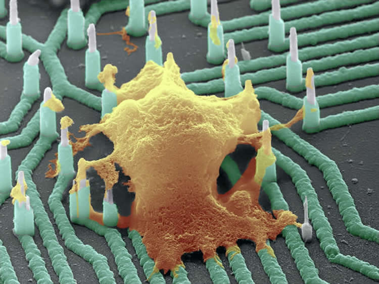 Image shows a neuron on the nanowire.