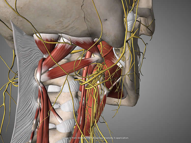 Image shows the vagus nerve.