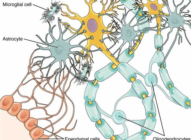 Image shows a diagram of a glial cell.